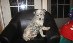 We have one male blue heeler puppy left for sale. He is 11 weeks old and ready to go anytime. Very cute, very friendly, and ready for a new home. Parents are both friendly, biddable dogs that are great around children. Puppy has been raised around young