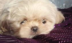 ~~Cream /w/ Blue Points~~ Phantom is a Gorgeous Boy!! He comes from Tiny Lines, he will be in the 7 Lb range. The Mom and  Dad are both registered with AKC and CKC, and both are Blue Creams. Phantom  has a  Blue Bubblegum Nose , like his Dad. He will be