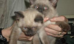3 BLUEPOINT SIAMESE KITTEN FOR SALE $250.00  PHONE FIRST 780-932-1668 OR 2ND 780-932-1667 OR THE OTHER TWO NUMBERS FAIL THEN CALL 780-217-6172 NO EMAILS PLEASE JUST PHONE CASH SALE ONLY.  HURRY FOR WE ONLY HAVE ONE LEFT. WAS $300.00 NOW IS $250.00 FIRST