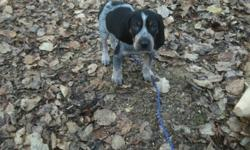 4 bluetick coonhound pups.2 males and 2 females.Come with first set of vaccinations.Parents are ukc registered.Pm for more info and pics.