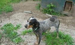 Registered Bluetick female one and half year old started on coons, ukc registered and performanced paid up. Great with other dogs and people rabies shots up todate, call Dave at 613-213-4493 or 613-657-3998 after 3:30 please no emails  I don't get them