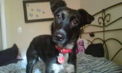 Breed: Border Collie mix   Age: Young   Sex: F   Size: Medium, approx 35 lbs Bonnie is a 1 yr old Border collie mix. She is a very sweet, snuggly  girl when she gets to know you, but does take a few minutes to warm up to new people and new situations. She