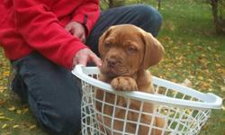 2 Bordeaux (french) mastiff puppies for sale! 1 male and 1 female, from a litter of 5! The second male in the basket with the female has been sold. Very affectionate, just like parents and already very use to people (adults and children). Abslutly