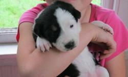 Our Border Collie puppies were born on October  4 They will have their first needles,be vet checked  and be dewormed before being purchased.MALES-2 FEMALES-4 ready to go in dec pics 1 and 2 boys and 3to 6 girls the last 2 pis are the father and mother
