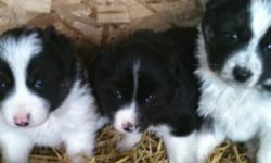 Hi I have 3 pups left to sell. 2 females and 1 male. Ready to go to a new home . Selling for 150$ each . Good for a farm. Serious e mails only. Thanks. This ad was posted with the Kijiji Classifieds app.