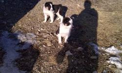 for sale  8 week old tri color pure bred female border collie puppy, last one from a litter of 7, from working parents, 400 obo, call   403 382 8633