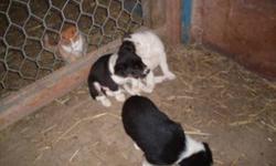 Beautiful Border Collie and Australian Shepherd Cross Puppies for sale! No Shots, Not De-Wormed.  $60 Firm.  Please call 905-692-3381.