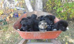 ~ 3 females & 2 males are still available. Brown faced pup is sold. Mother is Border Collie and Father Black Lab. **posting for a family member so no emails please. If you would like more information or would like to view the pups call 1-306-947-2421
