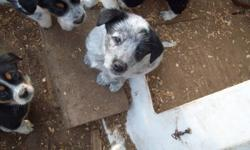 Border collie cross blue heeler pups Males only. Ready to go Nov 5 to 19 Mother is a working farm border collie dog. Call Mary at 6134782340