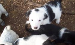 Border collie blue heeler cross pups only males left.  Mother is a working farm dog. Contact Mary $200 each