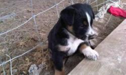 I have three border collie puppies for sale. If you're interested please call 519-301-0606 -They are great, very cute. -They are not coming with any shots. Please call for fast reply.