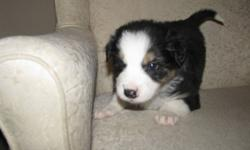 We Have 9 Beautiful Border Collie Puppies Only 3 Boys are left, 2 Black and 1  Brown. Will have first shots and dewormed. Ready to go just in time for christmas. Dec 22/11 Please call 780-402-2948