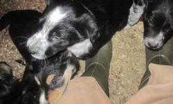 3/4 Border Collie, 1/4 Kelpie pups. 3 females, 3 males. Excellent working dogs or pets for an active family. Socialized with young children, cats, chickens and sheep. Mother shows a lot of natural herding instinct and is incredibly gentle and patient with