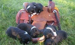 Border Collie Puppies for sale. 3 males and 3 females (1 female left). Bred to work. Sire is great cattle dog. Dam is herding, agility and flyball dog. Pups have lots of black.   Pups were born August 26th. Ready to go the end of October.   Includes vet