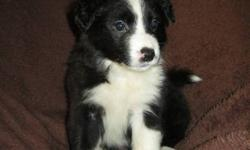 Our Border Collie puppies were born on September 12th,2011'.They will be vet checked, have their first needles and be dewormed before be being purchased.I will update my ad weekly(take pictures individually) due to the puppies changing their appearance