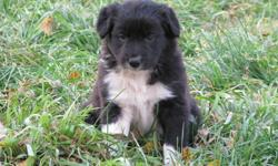 Female Border Collie Puppy for sale. Bred to work. Sire is great cattle dog. Dam is herding, agility and flyball dog. Pup has lots of black. Super temperment and wonderful personality. Busy girl with lots of energy. Great family dog as well. Born August