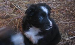 These puppies are 3/4 Border Collie.  Mom is non-papered purebred and dad is 1/2 Border Collie 1/2 scottish cattle dog.  Mom herds from the front and dad heals from behind.  They have been raised outdoors so they have their winter fur on.  There are 3