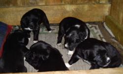 Border Collie Pups 1Male Left!!! Both Parents Are Working Cow Dogs On Stump Lake Ranch $200 each Wormed & 1st Shots Come Pick Yours Today Call 250 314 6206