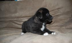 Border collie x pup 1 pup male ready to go comes with vet check 1st shots and dewormed, mother purebred border collie father golden retriever