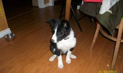 TWO females left.  Canadian Border Collie Association Registered.   Vet Health Check - Needles and Microchipped for identification. Pups come from good herding parents and will make good lovable pets and companions! Ready to go to new home.   Very