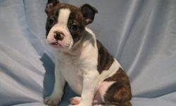 MINI BULLDOG PUPPIES Beautiful MiniBull puppies 1 girl and 1 boy in the litter  The father is a English Bulldog  Mother is a Boston Terrier Grew up in a family environment their whole life, very well associated with children and other dogs. They are 10