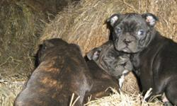 """Chocolate brindles and blacks. Both parents have super sweet and loving personalities. Family raised! Will have 1st shots. Call 306-242-3788 And get your new addition to your family!!!!!! Price $550 """" OBO """". YOU WILL ABSOLUTELY LOVE THEM !!!!!!!!!"""