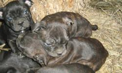 Beautiful loving/social puppies.Personalities you cant help but love. 2 chocolate brindle boys and 1 blk female left. Have 1st shots. Call 306-242-3788 or 306-381-7751 for more info. YOU WILL ABSOLUTELY( LOVE THEM) WHEN YOU MEET THEM!!!!!!!!! Give me a