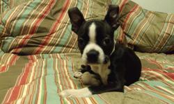 MALE BOSTON PUPPY TO A GOOD HOME. HIS DAD IS PURE BUT NOT REGISTERD MOM IS REGISTED HAS STARTED PAPER TRAINING EMAIL FOR MORE PICTURES IF INTERESTED. located  out of kamloops  - willing to deliver to kamloops