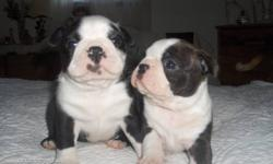 BOSTON TERRIER PUPS HOME RAISED   DAD  13 LBS MOM IS 16 LBS  BEAUTIFULL PUPS  EATING ROYAL CANINE PUPPY WILL BE VET CHECKED AND DEWORMED DEPOSIT WILL HOLD READY FOR FEBRUARY IF INTERESTED YOU MAY CALL 1 613 337 8521  BEAUTIFULL PUPS 2 BOYS AND 1 GIRL