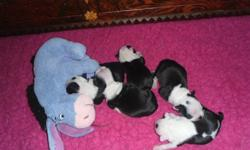 Boston Terriers are good natured, intellegent, & polite with a sence of humor:) 3 males, 1 female. All puppies arrive to their new homes dewormed 2x, vet checked, first inocculation. These cuties are all raised in home setting, with both parents on site.