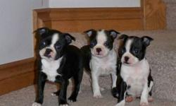 We have 4 pure boston terrier puppies. One male (with the green gator) and 3 pretty little girls They have their first shots and are very happy and healthy- come with a vet health record and some feed to begin with both parents are pure bred boston