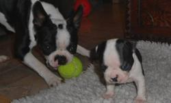 Boston Terrier puppies, born & bred, right here in NL.  Boston Terriers are good natured, intellegent, & polite with a sence of humor:) Male, or female available. Although puppies are all purebred, none are registered CKC, or, AKC. All puppies arrive to