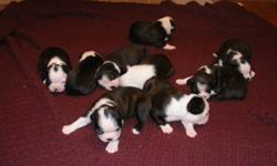 We have 9 beautiful Boston Terrier puppies born on November 5th, 2011.  We had 5 females and 4 males, with beautiful markings.  They are home raised with love and tender loving care.  Mom & Dad are on site and are both AKC registered.  They will be ready