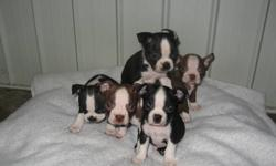 Beautiful BostonTerrier Puppies for sale First set of shots & dewormed.Your welcome to come & take a look. If interested please call 403-553-2071 or 403-393-6427.Parents on site.