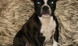 Boston terrier puppies.  We have two male puppies still available, these adorable babies are ready to go to loving permanent approved homes!  They are registered, microchipped, have had their second shots, are dewormed, dewclaws removed and started on