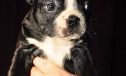 Great family pets shots up to date and wormed, will be ready to go Sept 24. They will all leave with their fav toy and a blanket that smells like Mom.  We have 1 boy and 1 girl left.  Mom and Dad are reg purebred but I didn't reg the litter.  Mom and Dad