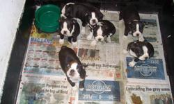 I have six boston terrier pups for sale. Four males and two females. They are very energetic, good with kids and very loveable. Ready to go to their new homes, have been eating on their own for a few weeks. Please no e mails, for an appointment to see