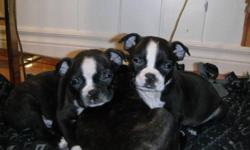 Our beautiful little guys are ready for their new homes! They come with their first shots, de worming, advantage treatment and a record of health from the vet. Both parents are on site and have great temperaments. These puppies have been well socialized