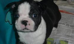 I have two gorgeous Boston babies left in my litter. Great markings and temperaments! 1 is brindle with white and the other is black and white.   Dad is a gorgeous registered male, short and stocky with a fantastic personality! Mom is black and white