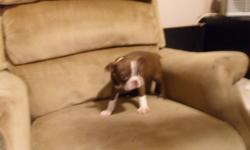 Registered Boston pup . he is beautiful. This pup is a top of the line pup with all the bells and whistles, he is registered and he has a micro chip in his neck for identification and he comes with a certificate of pedigree that goes back four