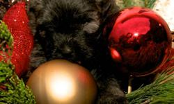 We have 6 beautiful Bouvier Pups ready to come home between December 15th and Dec 24th.  The pups will all be CKC registered and vet checked with shots and worming up to date. Bouvier's are fantastic family pets, they love to play with the kids and lie