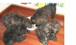 3 males and 2 females. Vet checked, tails docked and dew claws done. Litter mother, father and his mother are in house family pets. Pups are eating well, mother only nurses briefly once a day. They are well on the way to being house trained. Out at