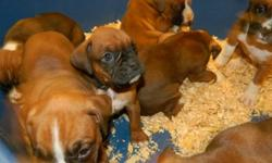 Dreamscape Kennels - CKC Reg'd Boxer Puppies for sale.   Flashy fawns, male and female.  Microchipped, vet checked, and guaranteed. Fabulous family pets and great with children.   For more information call 519-887-9511.  No e-mails please.
