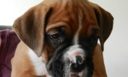 six puppies 2 boys 3 girls 7 weeks old , these are from our family pet boxer she is a great dog, brought up with children and other dogs , we want to make sure they go to loving homes, puppies are great example`s of boxers super cute. They are just