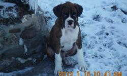 Available are 2 Fancy Brindle Boxer Pups... 1 male .... 1 female. Tails have been docked and dew claws removed. They have had their 1st set of shots and have been dewormed. Pups have been well socialized, are very playful and affectionate. The pups are