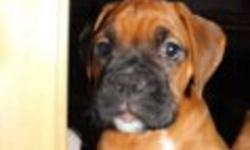 ONE BOXER PUPPY LEFT! Ready to go NOW!!!. HANDSOME MALE, BLACK MASKED. He has a great tempermant, very cute! Was asking $1,000 however, I want him to go to a loving home soon so I have reduced the price to $800. He gets lots of attention and outdoor