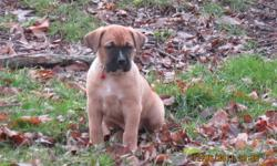 9 beautiful Saint Berxers that are waiting for their new homes.   This is Molly & Mason's 3rd and final litter and if you ask the parents from their 1st two litters they will tell you how amazing these dogs are. Gentle, obiedient, playful...great with