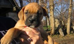 Hi! We are almost 8 weeks old and ready to go to our new home! We are 3/4 boxer and 1/4 saint, which gives us the best personality ever.  We are very loyal, obiedient and smart, if I don't say so myself!  Being a girl, I will probably weight about 65