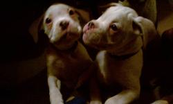 I have two white male boxers for 600.00 each.charlie is all white and rocky is all white with patch on his eye.....their tails are docked,first shots and worming x4 ....only serious inquire please....780 640 6193 or 780 999 6341 thank you....