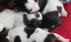 Wow, we are so pleased to present this beautifully marked litter, all chocolate and white parti puppies. Look at the brilliant coat patterns of these puppies, outstanding! We have 3 females and 1 male left. They were born on October 2nd. Their parents